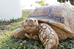Sulcata Tortoise Geochelone sulcata. Eating grass in the lawn Royalty Free Stock Image