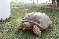 Sulcata Tortoise Geochelone sulcata. Eating grass in the lawn Stock Photos