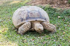 Sulcata Tortoise Geochelone sulcata. Eating grass in the lawn Stock Photo
