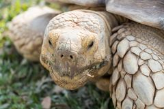 Sulcata Tortoise Geochelone sulcata. Eating grass in the lawn Royalty Free Stock Images