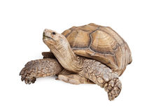 Sulcata Tortoise Looking Up on White Royalty Free Stock Photo