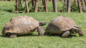 Sulcata Tortoise Stock Images