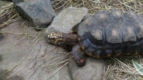 Sulcata tortoise meduim shot. Sulcata tortoise high angle shot stock footage