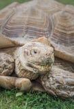 Sulcata tortoise na zielonym gazonu zakończenia portrecie fotografia stock