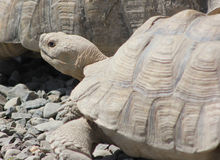 Sulcata Tortoise - side view close Royalty Free Stock Photography