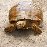 Sulcata tortoise Stock Photo