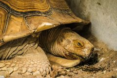 Sulcata tortoise in the zoo royalty free stock photos