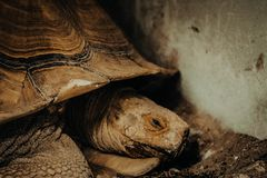 Sulcata tortoise in the zoo stock photo