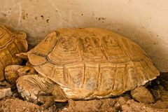 Sulcata tortoise in the zoo royalty free stock photo