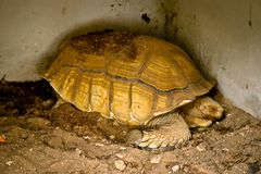 Sulcata tortoise in the zoo stock photography