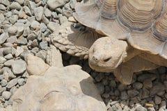 Sulcata Tortoises Fotografia Stock