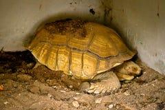 Sulcataschildpad in de dierentuin stock fotografie
