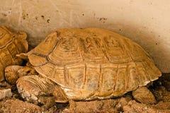 Sulcataschildpad in de dierentuin royalty-vrije stock foto