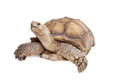 Sulcataschildpad die omhoog op Wit kijken Royalty-vrije Stock Foto