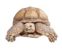 Sulcataschildpad die vooruit kruipen Stock Afbeeldingen