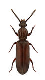 sulcatus rhysodes Стоковая Фотография RF