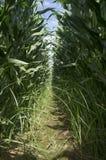 Sulco do interior do campo de milho Imagens de Stock