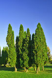Sulco pequeno da árvore de abeto na planície. Imagens de Stock Royalty Free