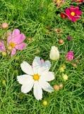 Sulfer波斯菊以各种各样的颜色 免版税库存照片