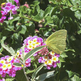 A Sulfur Butterfly on Pink and Yellow Flowers Stock Image