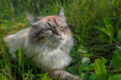 Sulfur cat blissfully basking in the sun in a green grass. The cat sulfur who is blissfully basked in the sun with the blinked eyes in a green grass Stock Photography