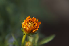 Sulfur Cosmos bud Royalty Free Stock Photography