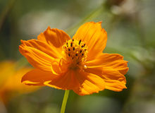 Sulfur Cosmos Royalty Free Stock Photography