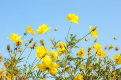 Sulfur Cosmos flower Royalty Free Stock Photography