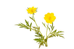 Sulfur Cosmos flower. Isolated sulfur cosmos flower on white background Stock Image