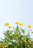 Sulfur Cosmos flower Stock Photography