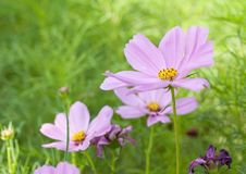 Sulfur Cosmos  Purple Royalty Free Stock Images