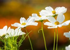 Sulfur Cosmos  withe Royalty Free Stock Photos