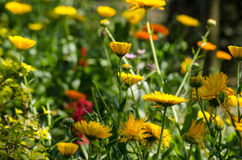 Sulfur Cosmos and Yellow Cosmos is cultivars appear in shades of Stock Photos
