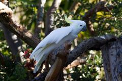 Sulfur crested cockatoo bird in Auckland Zoo. Sulfur crested cockatoo bird perched in tree branch in Auckland Zoo, New Zealand Royalty Free Stock Photography