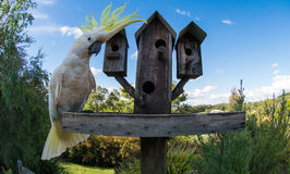 Sulfur-Crested Cockatoo Royalty Free Stock Images