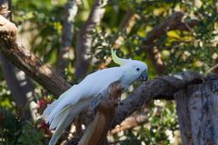 Sulfur crested cockatoo on a branch. Sulfur crested cockatoo bird perched on a branch  with trees in  background Royalty Free Stock Photos