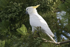 A sulfur crested cockatoo on tree. Stock Image