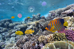 Sulfur damsel in red sea Stock Photography