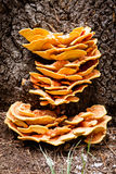 Sulfur fungus tree Royalty Free Stock Images