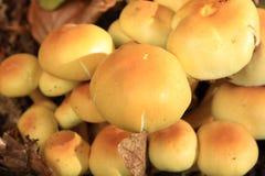 Sulfur tuft mushroom. Sulfur tuft or clustered woodlover, Hypholoma fasciculare Stock Photo