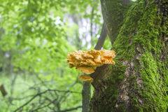 Sulfur-yellow fungus Laetiporus Sulphureus on tree trunk Stock Images