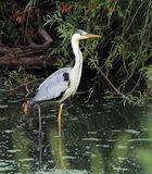 Sulfuric heron Royalty Free Stock Photos