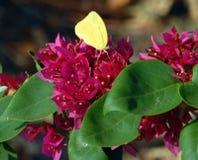 Sulfuro de la naranja de la especie de la mariposa Fotos de archivo libres de regalías