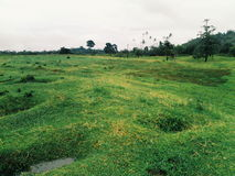 Suli gräsplanambon skönhet Arkivbild