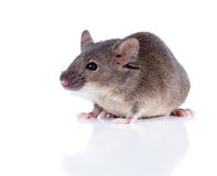 Sulkily Common house mouse on a white background Royalty Free Stock Photography