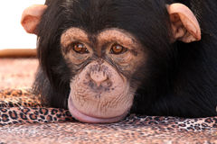 Sulking. Closeup of a Chimpanzee sulking and resting his head on a blanket Royalty Free Stock Image