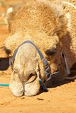Sulky camel Stock Image