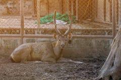 Sull'azienda agricola per l'allevamento dei cervi Fotografia Stock Libera da Diritti