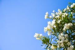 Sull'isola di Creta coltivi i bei fiori bianchi Fotografia Stock Libera da Diritti