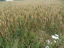 Sull'orlo del giacimento di grano Fotografie Stock Libere da Diritti